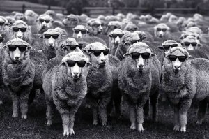 Gang of sheep wearing shades, link to url: https://www.woolmark.com/environment/regenerative-agriculture/